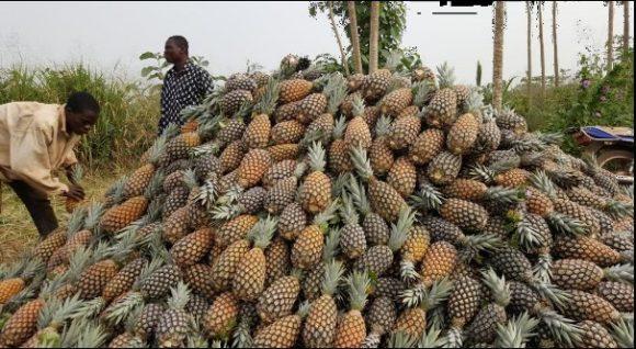 récolte ananas décembre 2015
